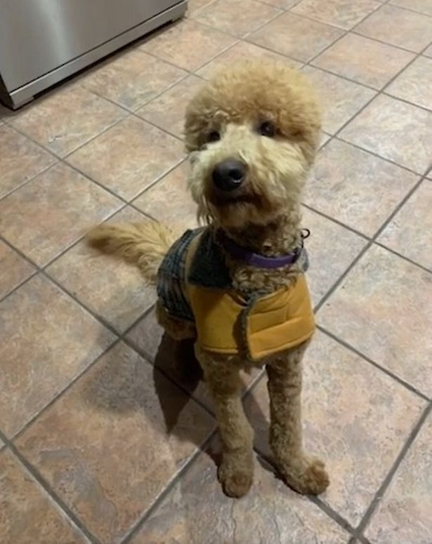 Woman apologises to her 'fuming' dog after haircut makes it look like an alpaca